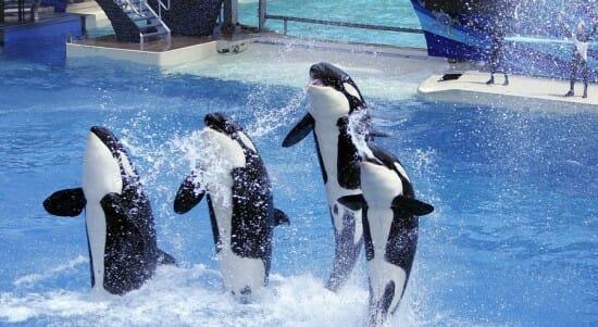 Sea World Orca Show