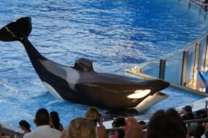 Tilikum, The SeaWorld Whale That Inspired The Blackfish Film Has Died
