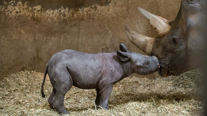 Rare Black Rhino Born At Pittsburgh Zoo & PPG Aquarium