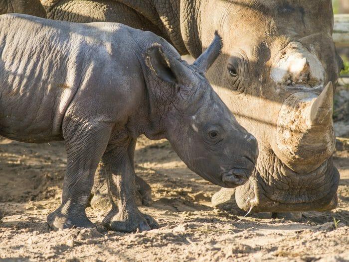 Meet Winnie The Baby Rhino Born At Busch Gardens Tampa Bay