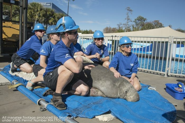 First Cold Stressed Manatee Of 2019 Arrives At SeaWorld Orlando